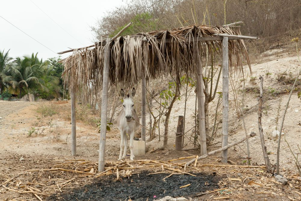 Ecuador: Manta, Ecuador :: A donkey stands under a handmade shelter by the side of the road. More Info