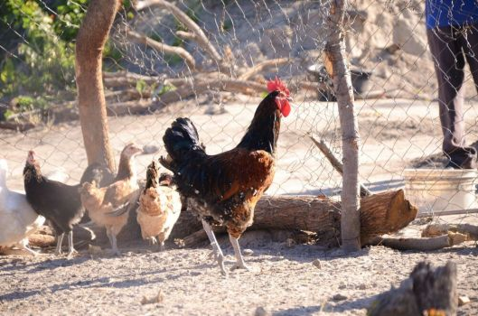 Namibia Chickens