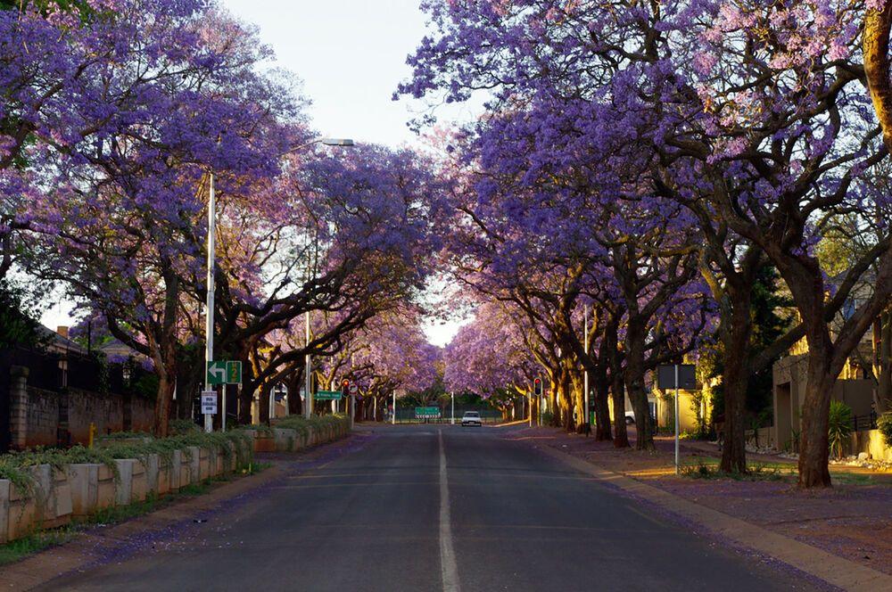 Beautiful jacaranda trees in Pretoria, South Africa.