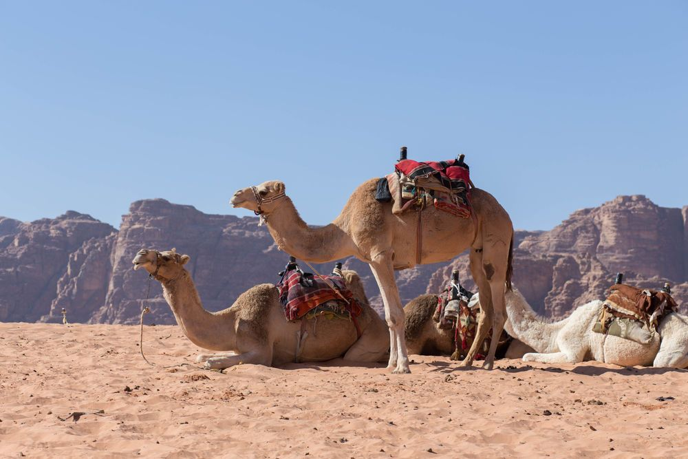 Arabian Peninsula: Camels await their riders in the desert.  