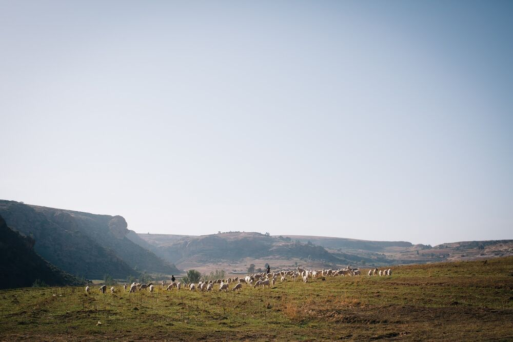 Lesotho: Shepherds herding sheep in Lesotho. Lesotho is a small mountainous country completely surrounded by South Africa. Photo by Doseong Park. More Info