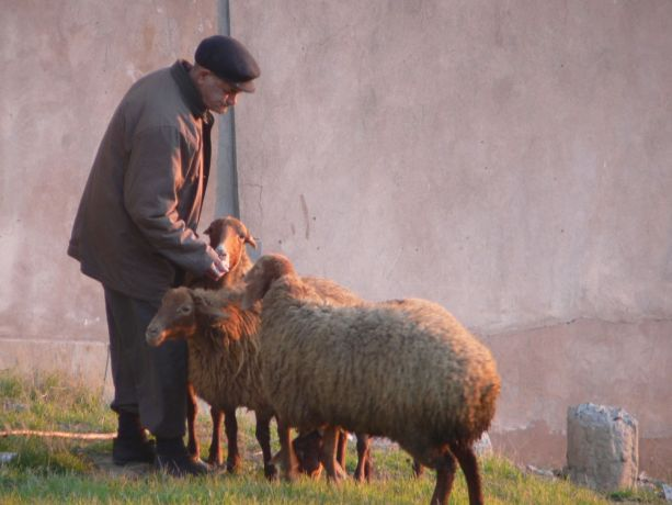 Caucasus: Sheep grazing in the capital city of Baku More Info