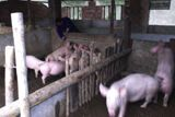Far East: OM Chinas organic farm has grown in reputation throughout the country, so much so that the government has placed an order for pigs for the coming year. More Info