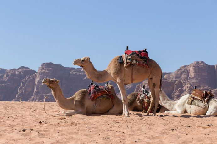 Arabian Peninsula: Camels await their riders in the desert.   Photo by Jacob Carter More Info