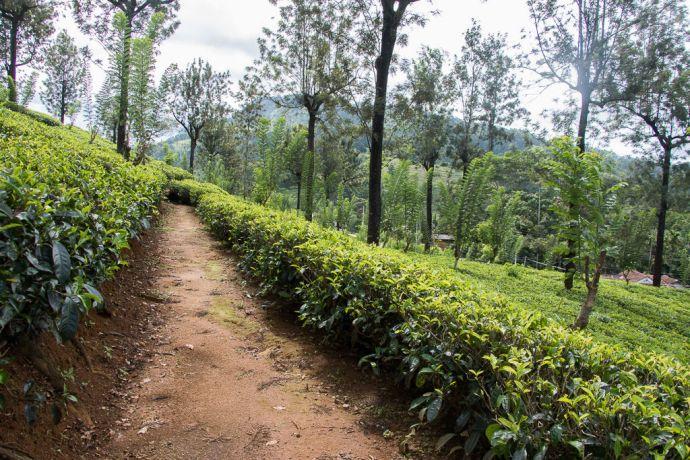 Sri Lanka: Colombo, Sri Lanka :: Tea plantation. More Info