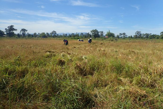 Laos: Laotians work tirelessly in their fields as a community to harvest all of the rice before the rains come. More Info