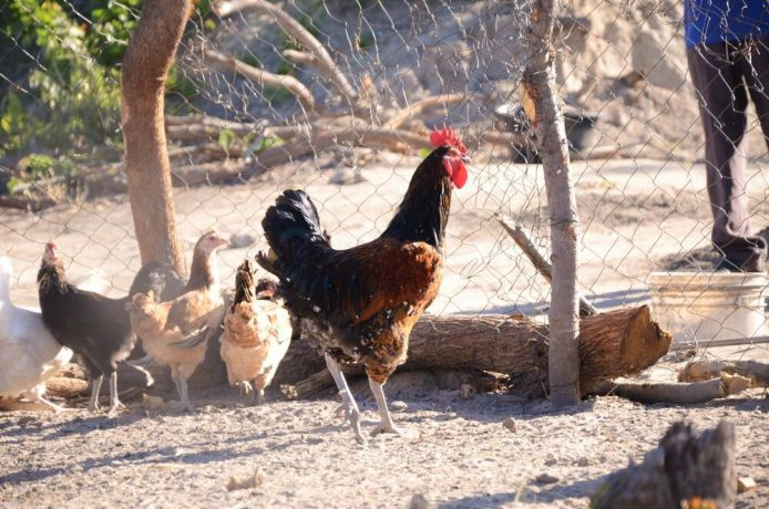 Namibia: Chickens used for a business startup ministry in Katima Mulilo, Namibia More Info