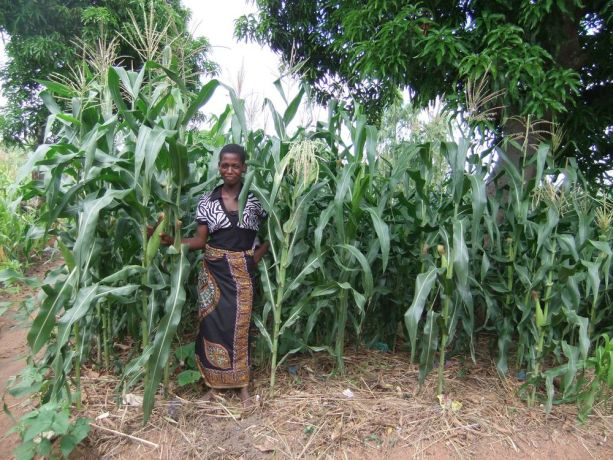Malawi: Maize growing on a plot prepared on Gods Way of Farming principles More Info