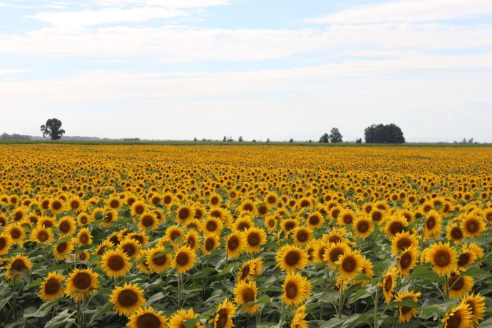 Italy: Sunflowers near Pisa, Italy More Info