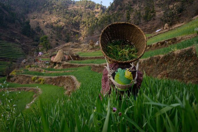 Nepal: A woman culls her rice filed make space for the other rice plants to grow to maturity. More Info