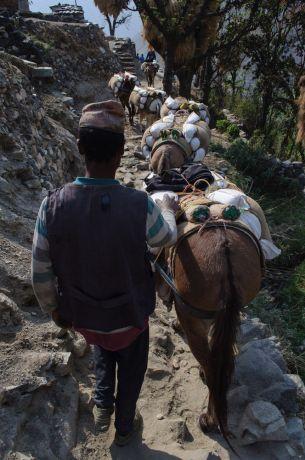 Nepal: Pack mules loaded and carrying supplies into remote villages of Nepal. More Info
