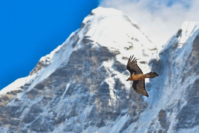 South Asia: A bird soars through the mountains. More Info