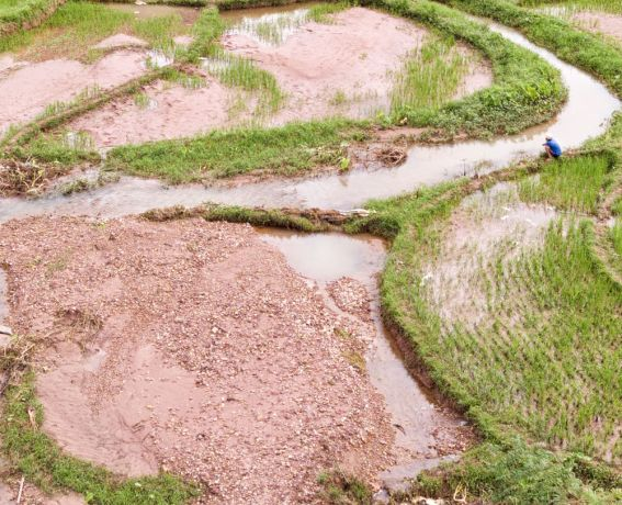 Laos: A farmer looks over part of his rice field that was ruined by the flood. More Info