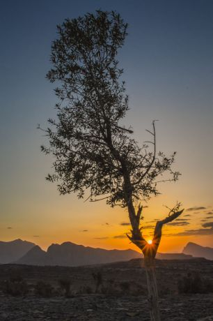 Arabian Peninsula: Sun sets through a tree in the Arabian Peninsula.  Photo by David D. More Info