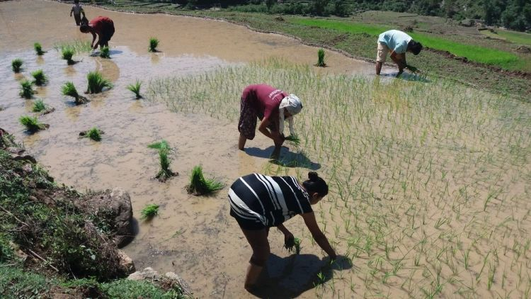 South Asia: OM team serves this community by helping them plant rice More Info