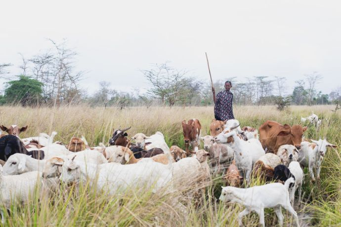 Tanzania: A Maasai boy guides his herd of goats and calves. More Info