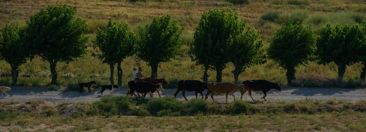 Central Asia: Boys herding their cattle down a road in Central Asia.  Photo by Garrett N More Info