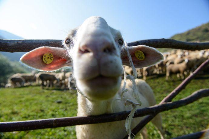 Kosovo: Shepherds with their sheep in the Dragash region of Kosovo.  Photo by Garrett N More Info
