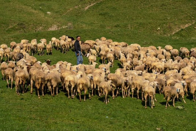 Kosovo: Shepherds with their sheep in the Dragash region of Kosovo.  Photo by Garrett N More Info