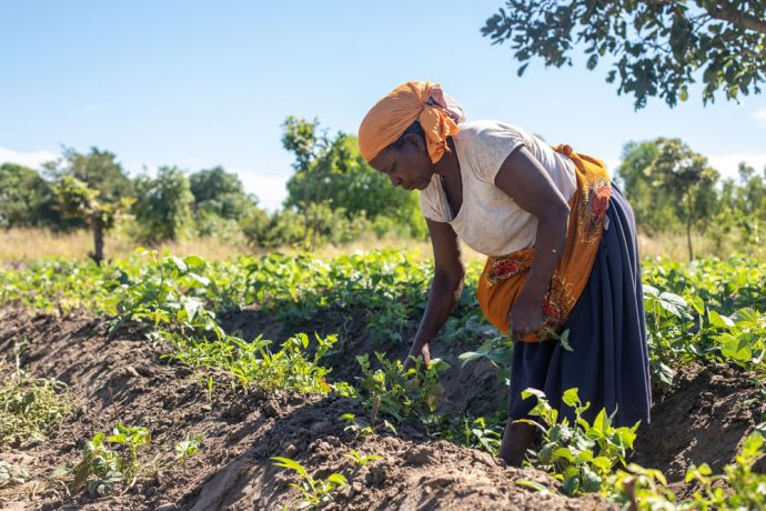 Malawi: A woman picks beans in a village in Malawi. Photo by Rebecca Rempel More Info