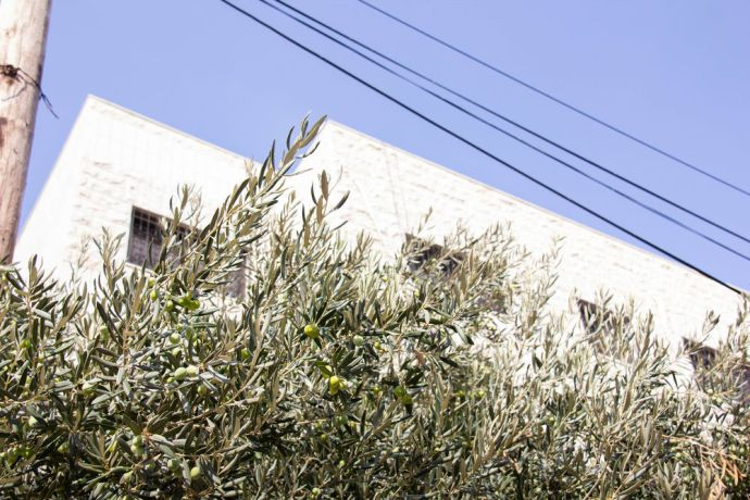 Near East: Olive trees are typical for the Middle East. More Info