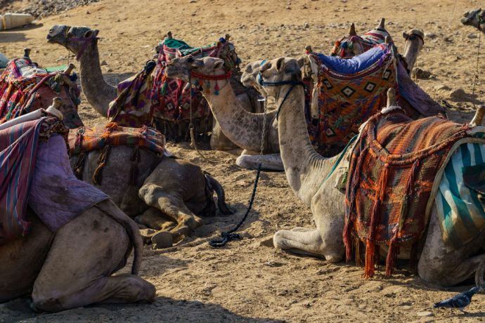 North Africa: Guests experience camels and culture in North Africa.  Image by Garrett N More Info