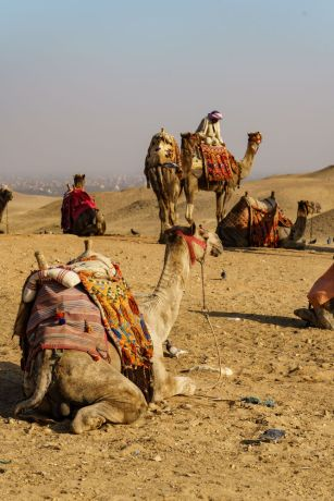 North Africa: North African camels prepare to cross the sand dunes.  Image by Garrett N More Info