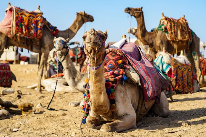 North Africa: Camels greet visitors in North Africa.  Image by Garrett N More Info