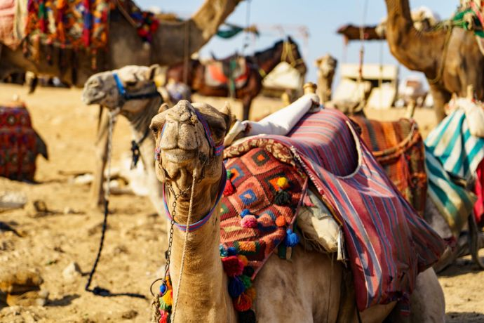 North Africa: Camels welcome visitors in North Africa.  Image by Garrett N More Info