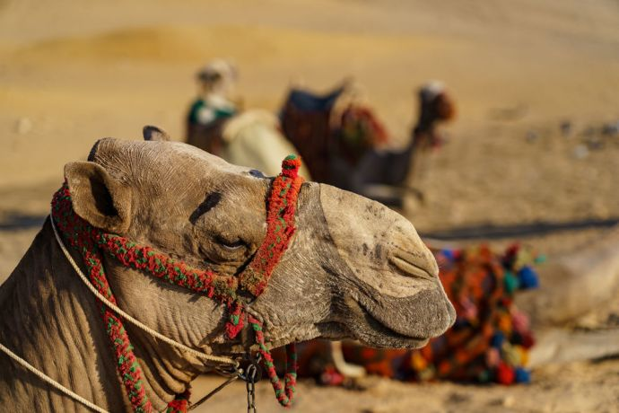 North Africa: North African camels greet guests.  Image by Garrett N More Info