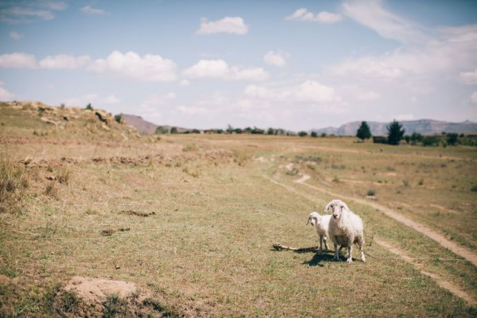 Lesotho: Two isolated sheep in Lesotho. Lesotho is a small mountainous country completely surrounded by South Africa. Photo by Doseong Park. More Info