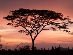 Acacia tree at sunset in Mozambique