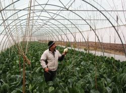 Moldova: Mihael is showing the crop of cauliflower in one of his newly-built greenhouses, which is part of the vegetable farm he is running with the help of the B4T programme. This programme helps Moldovans build up their own business, enabling them to provide for their families without having to leave for work abroad.