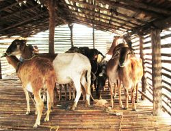 Missionary goats of Mecula, Mozambique