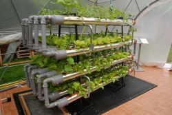 Global Food Garden vegetables grow with the hydroponic stystem where the plants root in an inorganic sbstratum baskets standing in pipes.