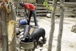 September 2014 OM Lake Tanganyika started a farm with two pigs, today they have over 80. Nelson is one of the men working at the farm.