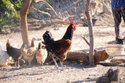 Chickens used for a business startup ministry in Katima Mulilo, Namibia